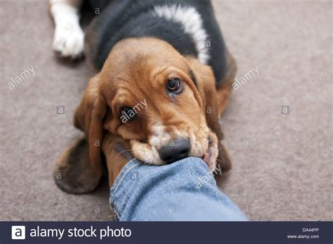 puppy play biting domestic basset hound puppy play biting of owner stock photo 57869246