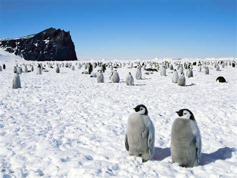 Traveller Pinguin alaskan penguins the liberal traveler