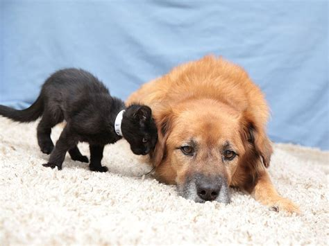 arizona humane society dogs boots the kitten nanny hired by arizona humane society
