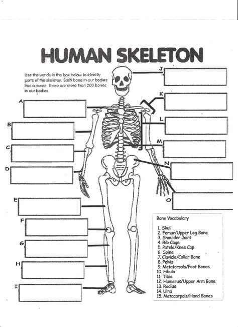 Anatomy And Physiology Regions Worksheet by Digestive System Labeling Worksheet Answers Human Skeleton