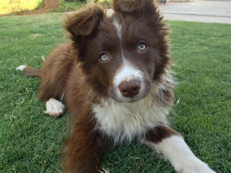 brown border collie puppies pretty chocolate border collie puppy bundi border collies collie