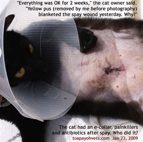 spay incision cat spay