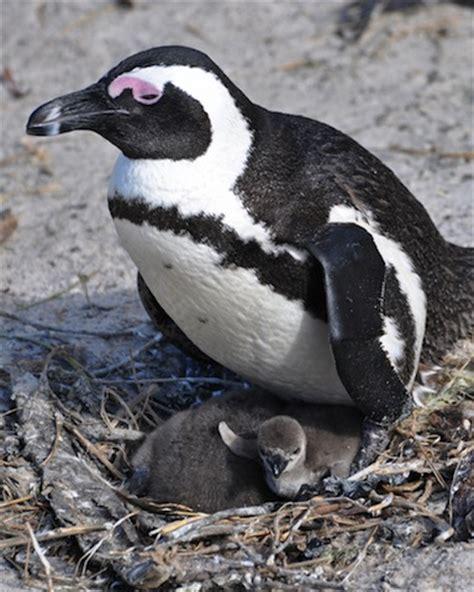 African Penguin Information for Kids   Penguins   Boulders ...