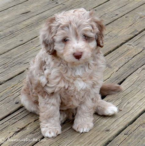 mini aussiedoodle puppies remi merle mini aussiedoodle puppy awesomedoodle