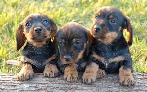 imagenes animales jpg imagenes de fotos de perro salchicha cachorro jpg memes