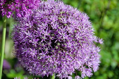 garten knoblauch pflanzen kostenloses foto knoblauch kugel violett pflanze