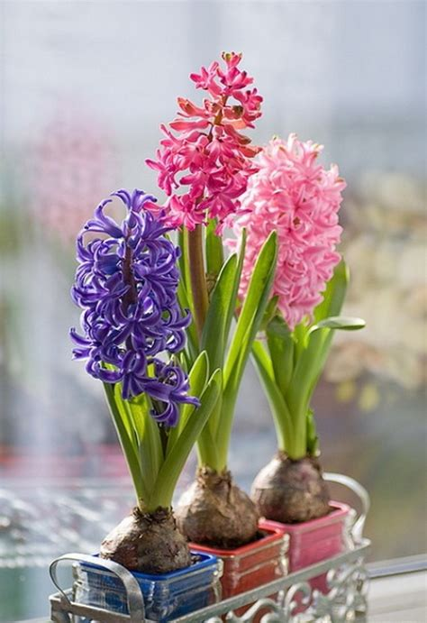 hyacinth bulbs pictures   images  facebook tumblr pinterest  twitter