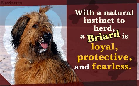 dogs and personalities characteristics and personality traits of the briard breed