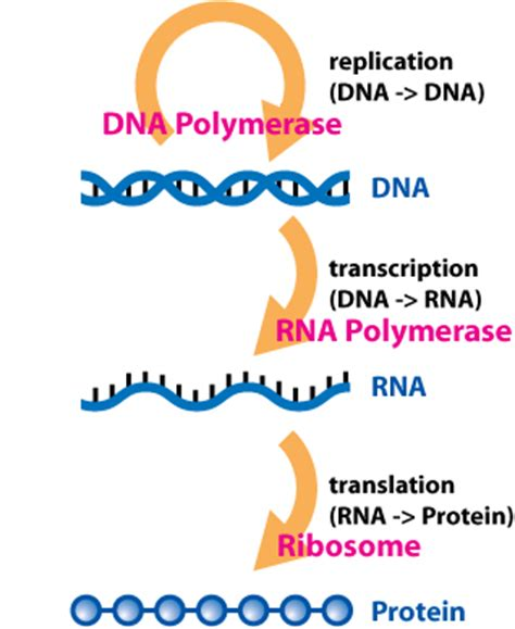 explain how dna serves as its own template during replication chimeric rna