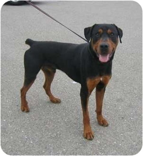 rottweiler doberman mix puppies royce adopted sas a166502 tracy ca rottweiler doberman pinscher mix
