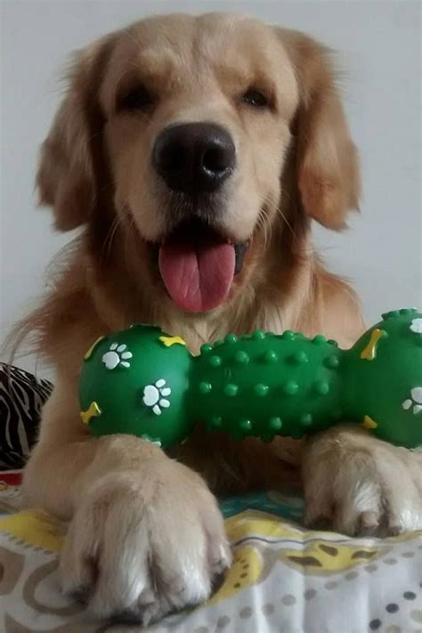 are golden retrievers playful these 12 adorable golden retrievers will make you a better person
