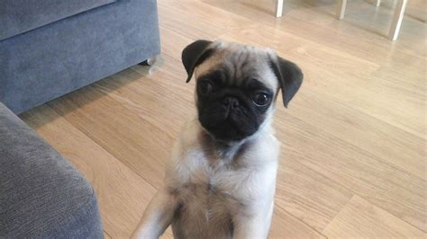 5 month pug 5 month pug northwich cheshire pets4homes