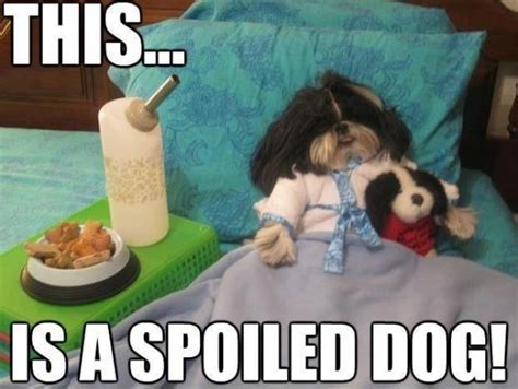 why does my shih tzu cough 170 best images about this is just on