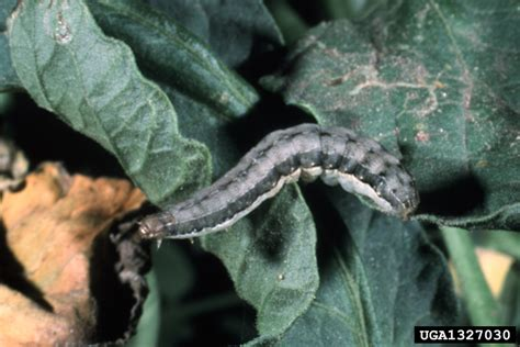 controlling  identifying beet armyworm damage