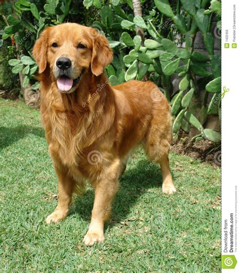 brown golden retriever golden retriever up stock photo image of brown 1402456