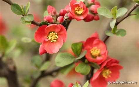 flower quince wallpaper japanese flowering quince wallpaper full hd high quality