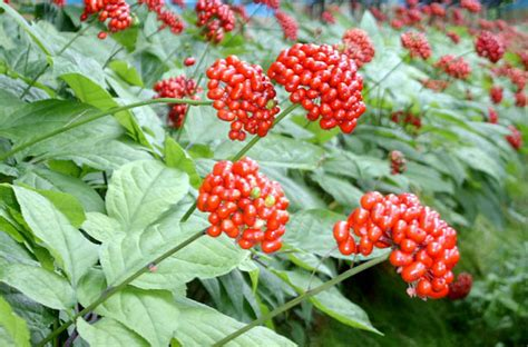 Shoo Ginseng when does ginseng flower pictures to pin on