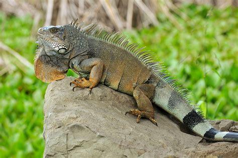 Iguana L iguana wikiquote