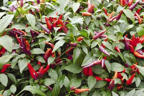 Decorative Pepper Plants by Ornamental Pepper Varieties Hgtv