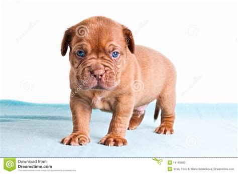 puppy on carpet puppy on blue carpet stock photos image 14145683