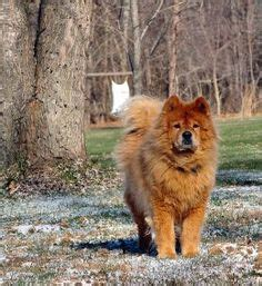 1000 Ideas About Big Fluffy Dogs On Pinterest Fluffy Dogs Rough Collie And Collie