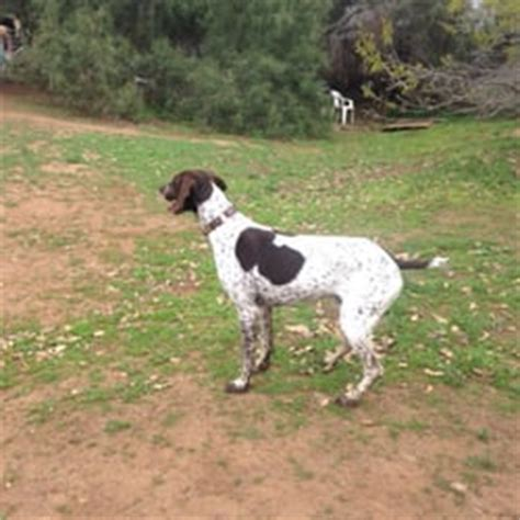 rescue northern california german shorthaired pointer rescue northern california hairsstyles co