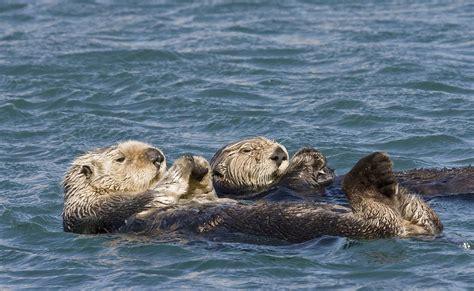 donne che fanno il bagno lontre marine che fanno il bagno immagini e sfondi per