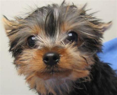 yorkie puppies in hawaii yorkie puppy up jpg hi res 720p hd