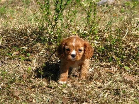 puppies for sale in jackson ms cavalier king charles spaniel puppy funnydog tv