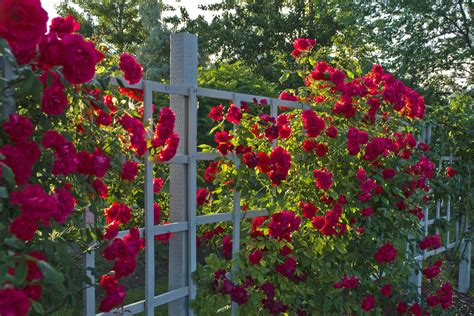backyard rose gardens red rose garden ideas 1655 hostelgarden net