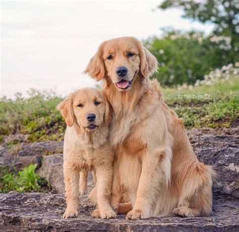 names for a golden retriever 1000 ideas about golden retriever names on australian shepherd names