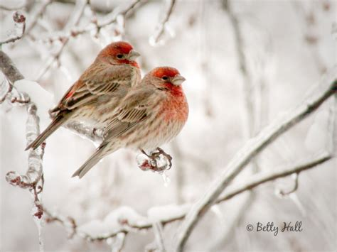 house finch life cycle house finch cycle 28 images house finch headed sparrow