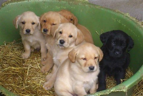 golden retriever and lab puppies beautiful chunky golden labrador puppies peterhead aberdeenshire pets4homes