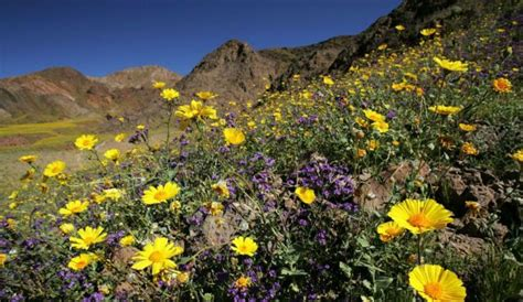 wildflowers anza borrego see rare super bloom of wildflowers carpet anza borrego