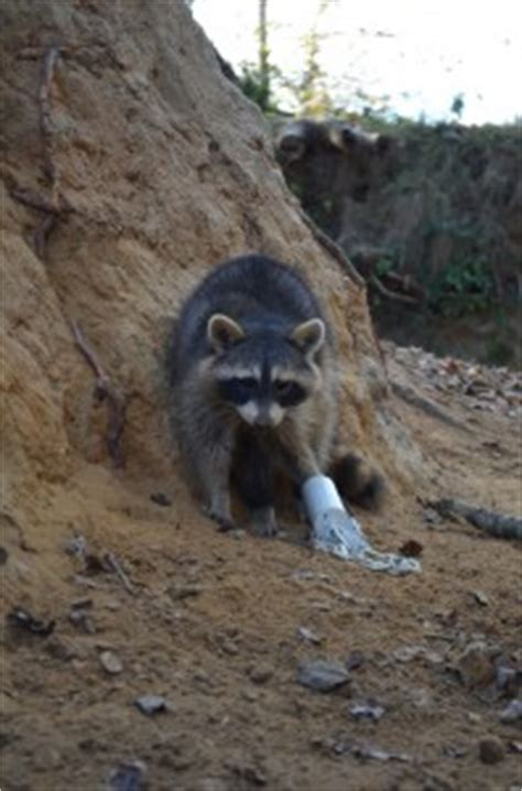 proof coon trap proof raccoon trapping ztrap proof coon trap fleming traps