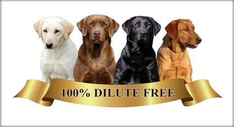 labrador colors colors of labs what determines the coat colors of