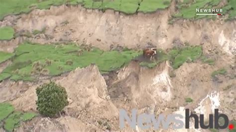 earthquake in new zealand these cows survived the powerful earthquake in new zealand