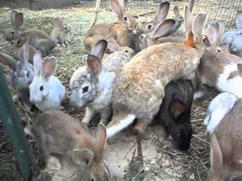 allevare conigli in gabbia conigli agosto 2012
