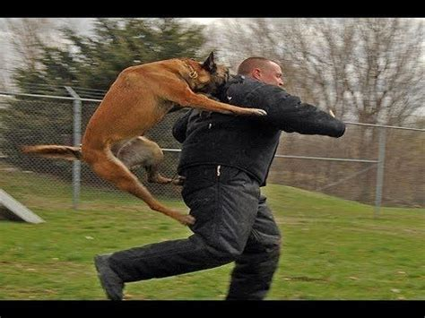best attack dogs best 25 pitbull attack ideas on who is pitbull pictures of pitbull