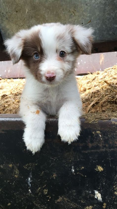 adorable small puppies best 25 aussie puppies ideas on