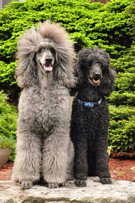 poodle with plain hair cut 17 best images about poodles on pinterest french poodles