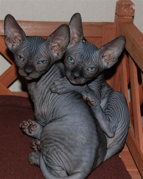 Two Sphynx kittens photo and wallpaper. Beautiful Two