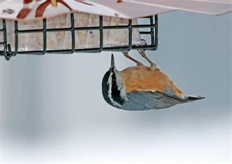 how to make a rain guard for bird feeder suet feeder with guard