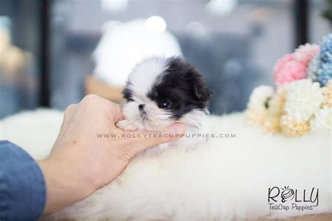 teacup shih tzu price oreo shih tzu m rolly teacup puppies