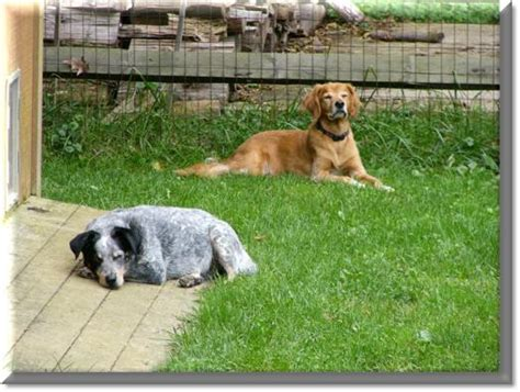 blue tick hound golden retriever mix fred s pets