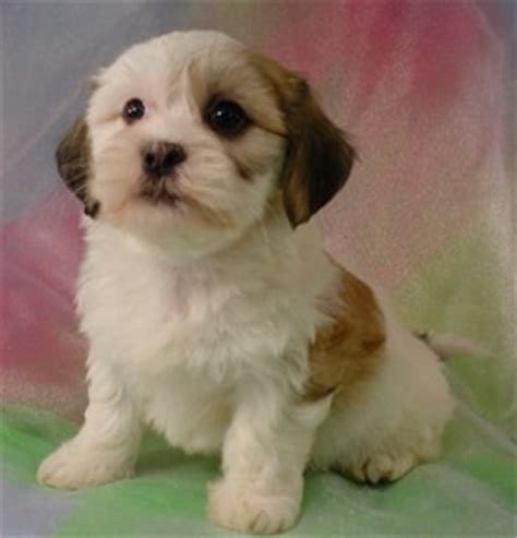 Shih Tzu Bichon Mix Puppies For Sale In Minnesota