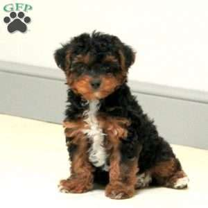 yorkie poo puppies for sale in kent yorkie poo puppies for sale from loving breeders greenfield puppies