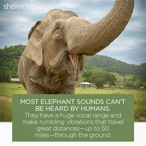 8 Facts On Elephants by Best 25 Facts About Elephants Ideas On