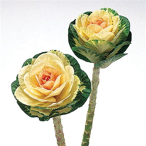 ornamental cabbage buy sunrise ornamental flowering cabbage kale seeds ne seed