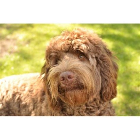 doodle puppies for sale bc labradoodle breeders in columbia freedoglistings